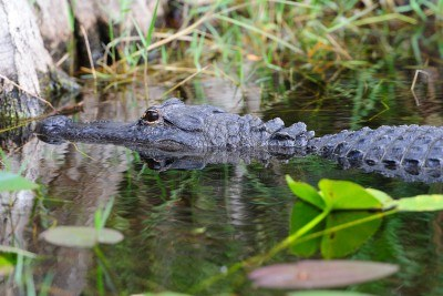 14359312-alligator-closeup-in-wild-in-gator-park-in-miami-florida