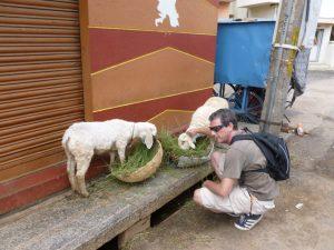 India sheep